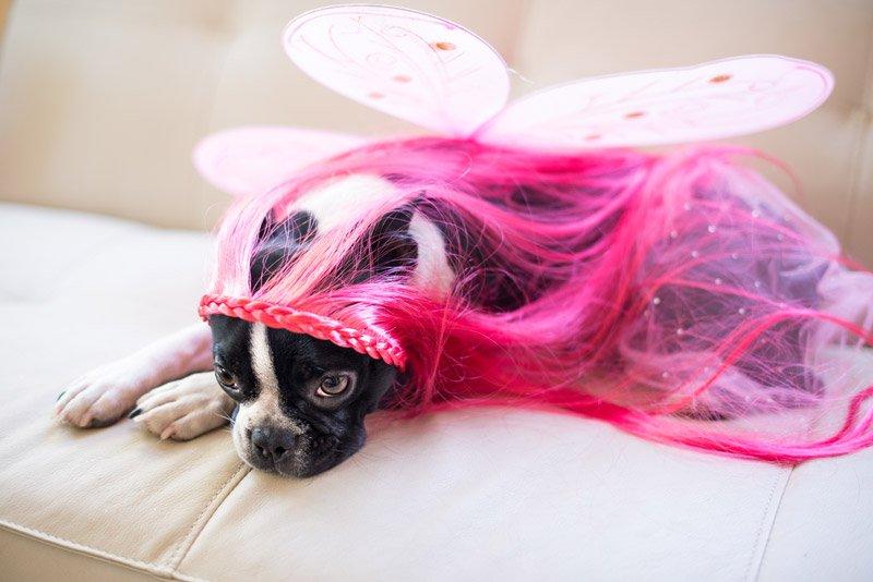 Boston Terrier Halloween Costume 2