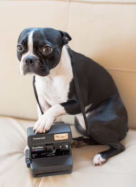 Olive Photographer : Boston Terrier