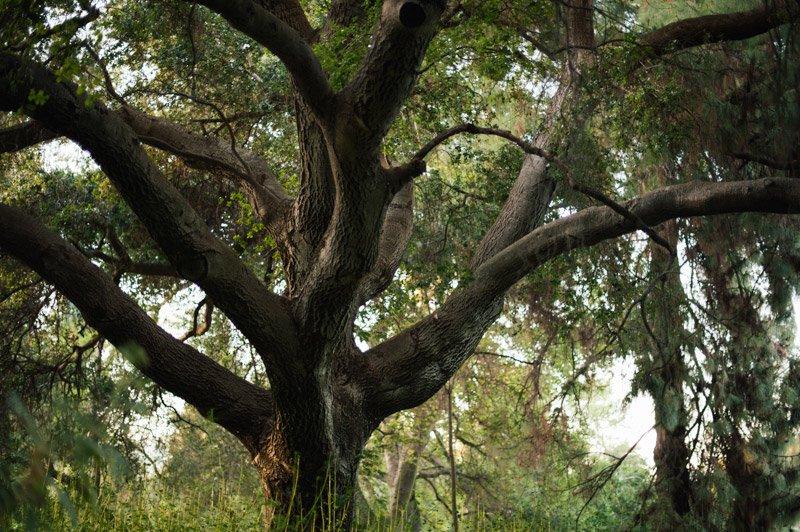 Beautiful tree at the UC Davis Arboretum