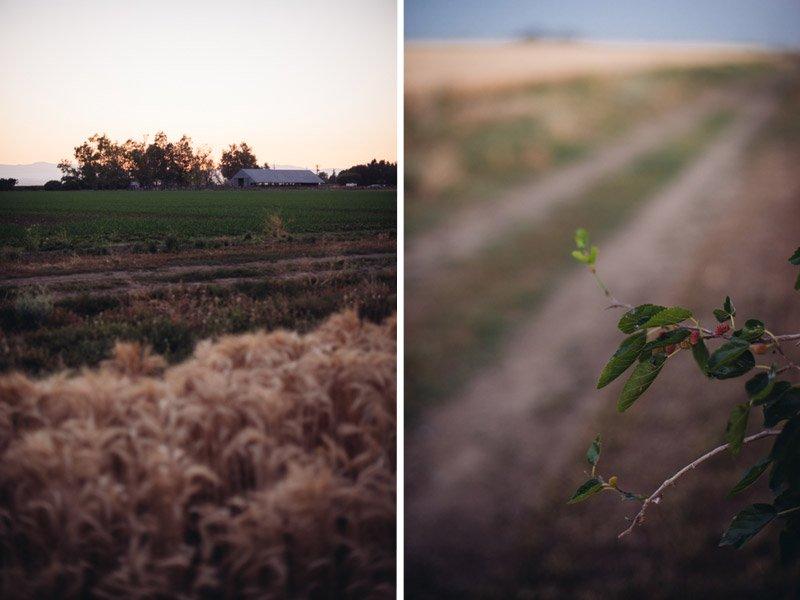 Wheat farm in Willows, Ca