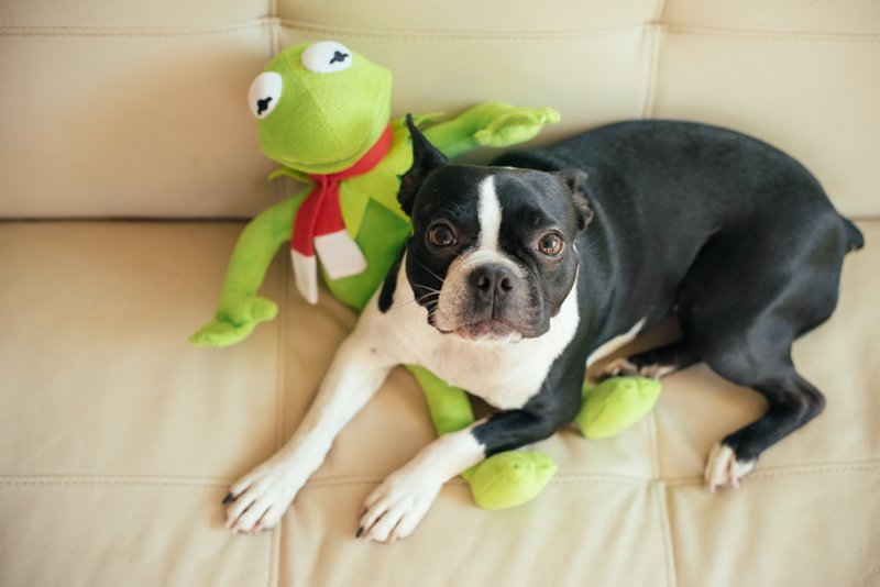 Boston Terrier with kermit the frog