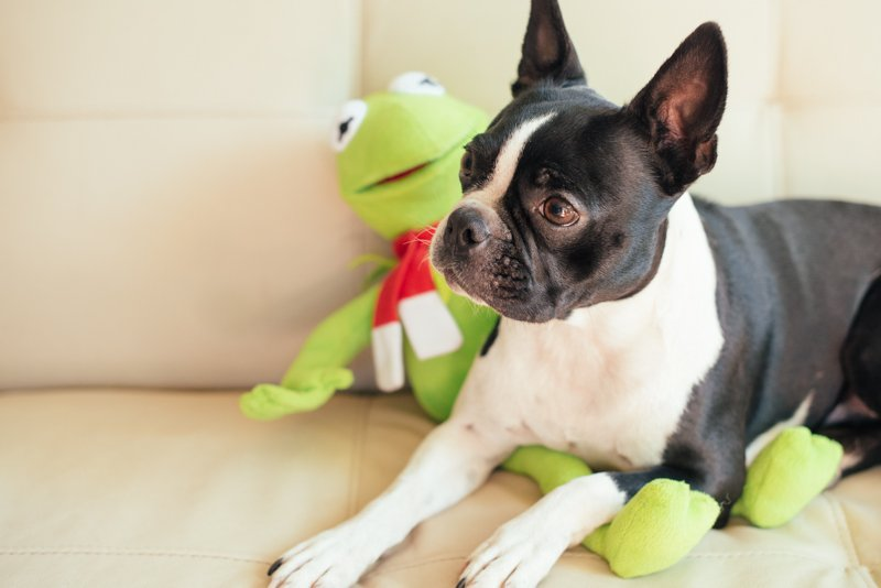 boston terrier sitting on white couch with toy