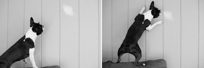 Boston Terrier chasing shadow on wall