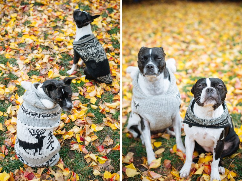 Boston Terriers in Christmas Sweater