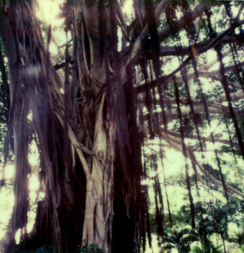 Polaroid of Banyon Tree on Maui