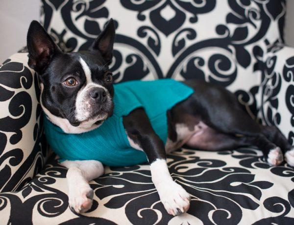 Boston Terrier wearing teal sweater