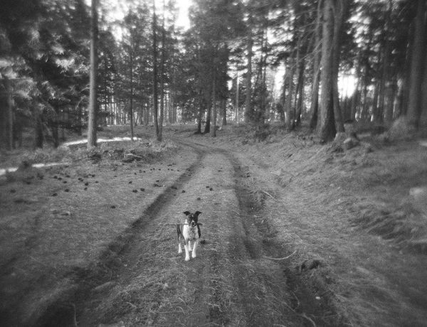 Fox Terrier Playing in Woods