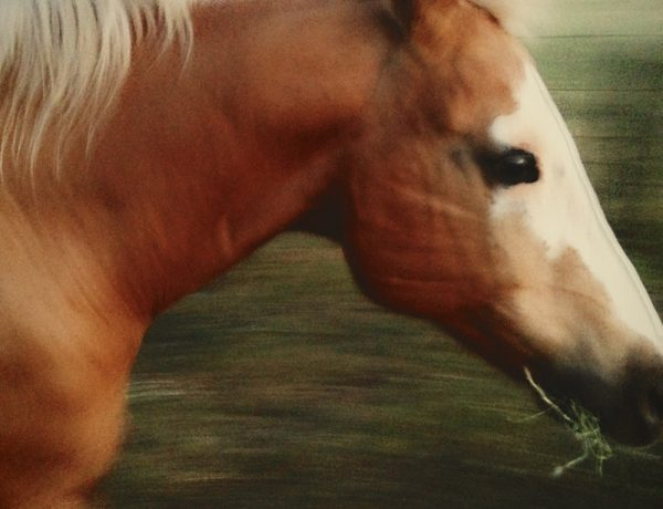 mobile photography of palomino horse using vsco cam to edit.