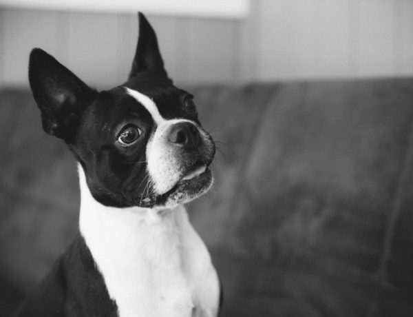 Boston Terrier smiling